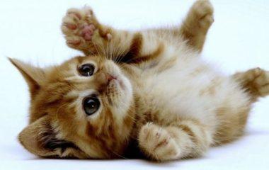 On compte actuellement, une soixantaine de race de chat. SI vous voulez en adopter un, nous allons vous aidez à travers cet article en vous listant les chats les plus mignons.
