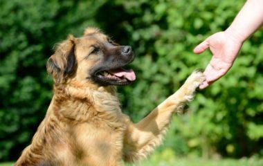 Lorsque vous appelez votre chien, celui-ci remue sa queue et vous vous dites surement qu'il est heureux. Sachez que le fait qu'il remue la queue ne signifie pas forcément qu'il est heureux. Il fait ce geste en cas d'agitation et d'excitation. Nous allons vous éclairer plus sur ce sujet et vous donner les signes pour […]