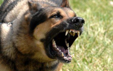 Quand on adopte un chien, il ne s'agit pas seulement d'amour et de passion. Dans certains cas, on adopte un chien pour notre sécurité. Pour vous aider, voici une sélection des races de chiens les plus agressifs et les plus dangereux au monde.