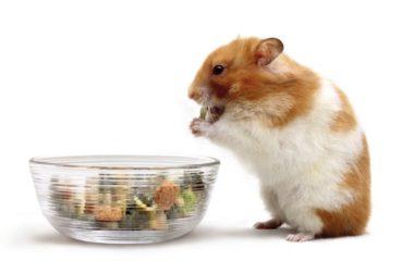 Vous voulez un petit animal de compagnie pour votre enfant, pensez au hamster ! Sachez que tout comme l'homme, le hamster est omnivore. Il peut tout manger ou presque.