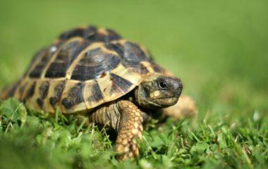 Vous cherchez un animal domestique facile à élever ? Pourquoi ne pas tenter une nouvelle expérience en adoptant une tortue terrestre ? Sous sa grande carapace, ce reptile a tant de secrets à vous faire de découvrir que vous ne vous ennuierez pas en sa bonne compagnie. De plus, il n'y a pas trop de […]