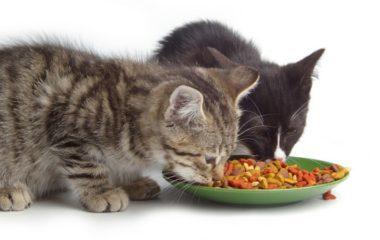Il est essentiel de bien nourrir un chat pour qu'il reste en bonne santé et pour qu'il grandisse correctement. Pour cela, il existe quelques règles d'alimentation à respecter au quotidien. Découvrez ici quelques-unes de ces règles.