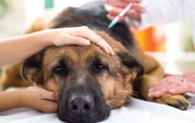 Vous avez des chiens comme animaux de compagnies et vous désirez savoir un peu plus les maladies susceptibles de les toucher ? Nous vous proposons de découvrir ici les différents types d'affections que l'on observe essentiellement chez les chiens. L'objectif est de vous aider à réagir rapidement en cas de problèmes et de doutes afin […]