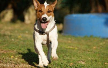Vous désirez adopter un chien ? Avant d'en acquérir, il est indispensable de prendre en considération un certain nombre de critères. Outre son apparence, le caractère de votre futur compagnon fidèle est aussi important. Choisir la bonne race vous permet déjà d'augmenter considérablement vos chances de bien vous entendre avec votre chien. On vous fait […]