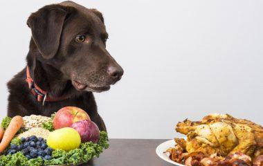 C'est faux : on ne donne pas n'importe quoi à manger au chien. Un chien ne s'accommode pas de toutes les nourritures que l'on verse dans sa gamelle. Son estomac, sa mâchoire, bref, son organisme, ne sont pas adaptés à certains aliments. Voici un récapitulatif de ce que vous pouvez lui donner avec quelques conditions.