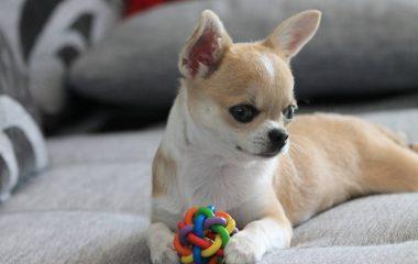 Le chihuahua est une race de chien très petite, mais qui possède un grand caractère. Beaucoup de gens apprécient ce genre de chien et préfèrent les adopter en tant qu'animal domestique. Mais comment s'en occuper correctement ? Quels sont les réels besoins d'un chihuahua ?