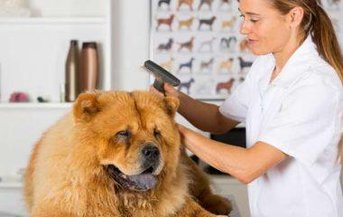 Pour prendre soin de l'apparence et de l'hygiène de leurs toutous, les maîtres peuvent faire appel à un toiletteur canin. Ce métier s'est largement développé ces dernières années. Le toiletteur reçoit les chiens dans son salon, mais peut également exercer au domicile des maîtres. Zoom sur ce métier en contact permanent avec les chiens.