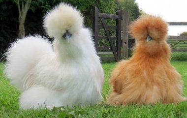 Un concept qui nous vient des États-Unis et qui commencent de plus en plus à avoir le vent en poupe : les poules comme animal de compagnie parlons-en ! Cette tendance ne se rencontre pas seulement dans les villages de France, même en plein centre-ville, les familles optent de plus en plus pour les poules. […]