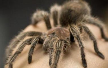 Passionné d'arachnide, vous rêvez d'une araignée comme animal de compagnie ? Sachez que toutes les espèces d'araignées ne peuvent pas cohabiter avec l'homme. De nature asociale, les araignées sont difficiles à apprivoiser, mais en sus, certaines races sont dangereuses voire mortelles pour les humains. C'est pourquoi tout comme les serpents, on se méfiera de leur […]