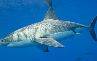 Le requin blanc, ou mangeur d'homme, ou encore mort blanche est un véritable monstre dans le milieu marin. On le retrouve le plus souvent au cœur des océans à climats tempérés même s'il peut vivre dans n'importe quelles mers.