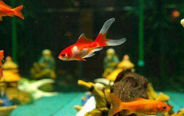 Décidément, vous aimez les poissons, vous pouvez passer des heures entières à les admirer dans leur aquarium. Ils vous semblent tous si beaux, si attirants et vous souhaitez installer votre propre aquarium chez vous et adopter quelques-uns de ces poissons. Veillez à ce que l'aquarium soit de bonne taille et surtout, tout équipé, afin que […]