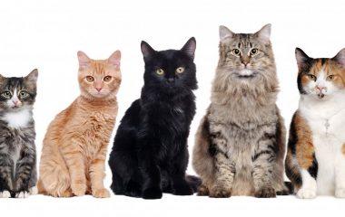 Lorsque l'on parle de domestication d'animaux, le chat est toujours en première ligne dans la longue liste. En général, les gens ont tendance à prendre les chats de gouttière, qui sont souvent plus abordables que d'autres. Par contre, pour les amoureux d'animaux, rien n'égale le fait d'avoir un chat de race.